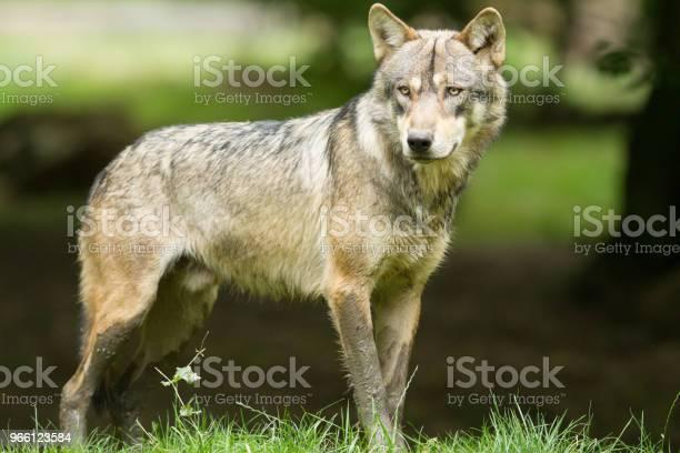 Loup Gris Grey Wolf - Fotografias de stock e mais imagens de Animais caçando