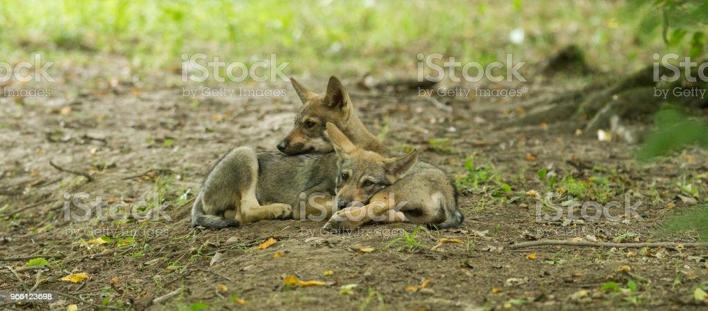 Loup gris - grå varg - Royaltyfri Djur Bildbanksbilder