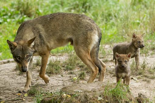 Loup Gris Grijze Wolf Stockfoto en meer beelden van Bont