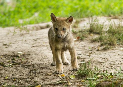 Loup Gris Grey Wolf — стоковые фотографии и другие картинки Без людей
