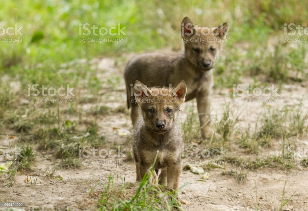 Loup gris - Grey wolf - Стоковые фото Без людей роялти-фри