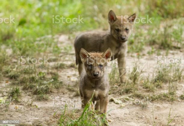 Loup Gris Серый Волк — стоковые фотографии и другие картинки Без людей