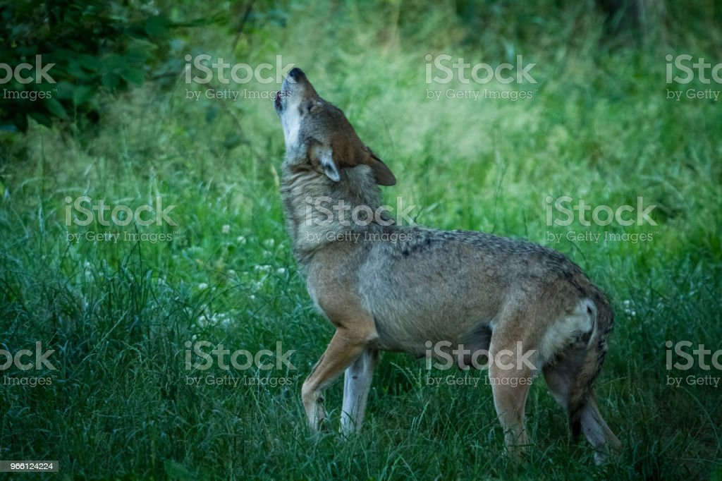 Loup gris - Grey wolf - Royalty-free Animal Stock Photo