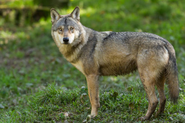 loup gris - grey wolf - carnivora stock photos and pictures