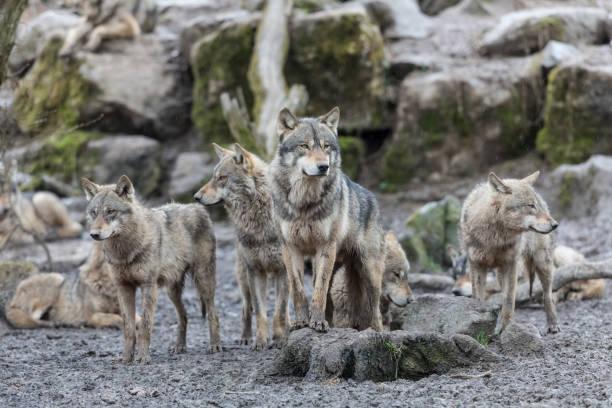 loup gris - grå varg - varg bildbanksfoton och bilder