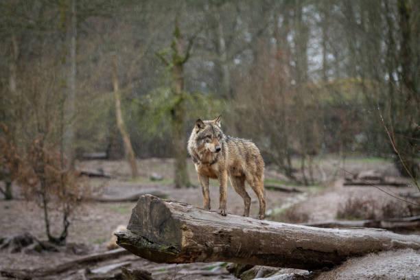 Loup gris - grå varg bildbanksfoto