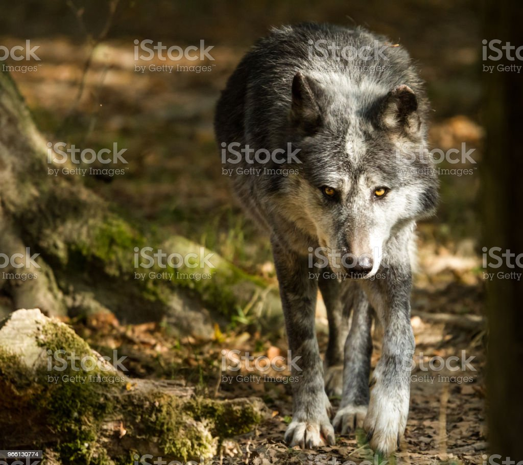 Loup noir - Black wolf - Стоковые фото Без людей роялти-фри