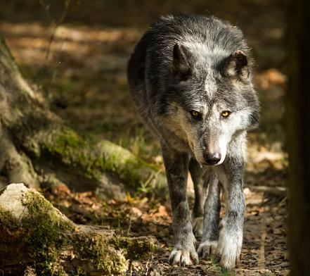 Loup Noir Black Wolf Stockfoto und mehr Bilder von Auge