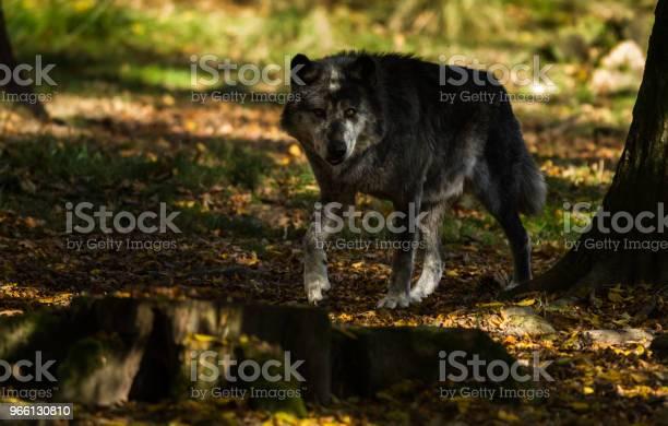Loup Noir Black Wolf-foton och fler bilder på Djur