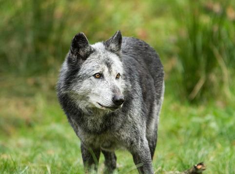 Loup Noir Zwarte Wolf Stockfoto en meer beelden van Bos