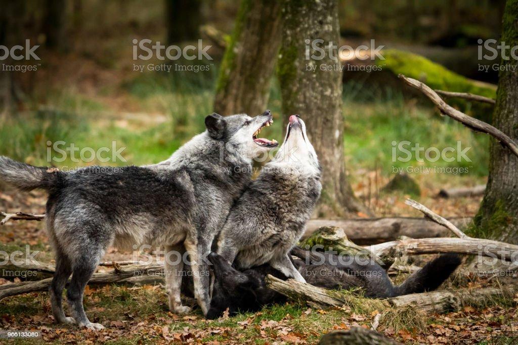 Loup noir - Black wolf - Foto stock royalty-free di Ambientazione esterna