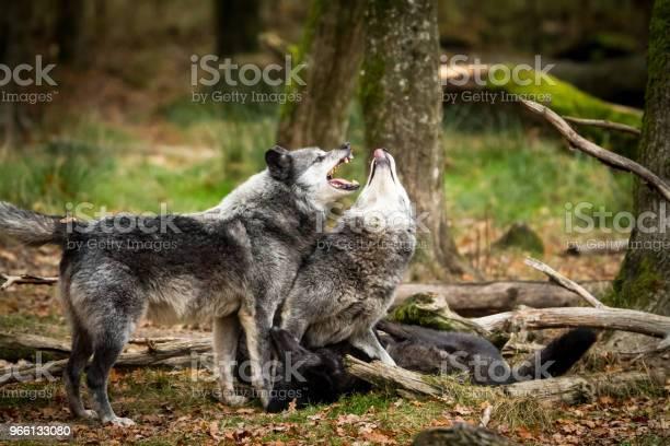 Loup Noir Lupo Nero - Fotografie stock e altre immagini di Ambientazione esterna