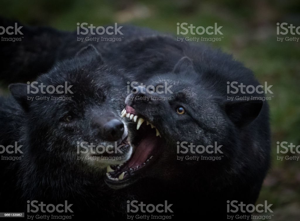 Loup noir - Black wolf - Royalty-free Animal Stock Photo