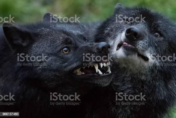 Loup Noir Black Wolf — стоковые фотографии и другие картинки Без людей