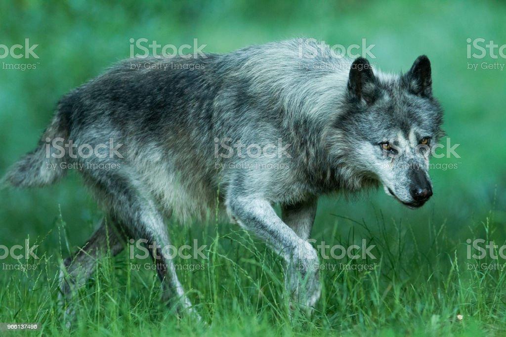 Loup noir - Black wolf - Royalty-free Animais caçando Foto de stock