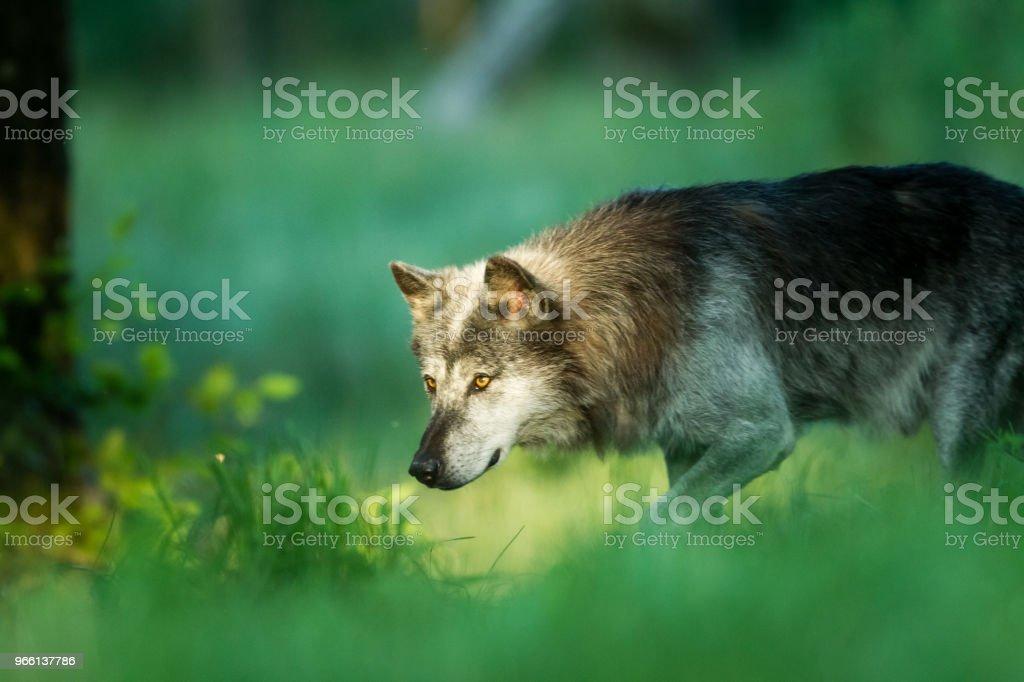 Loup noir - Black wolf - Royaltyfri Djur Bildbanksbilder
