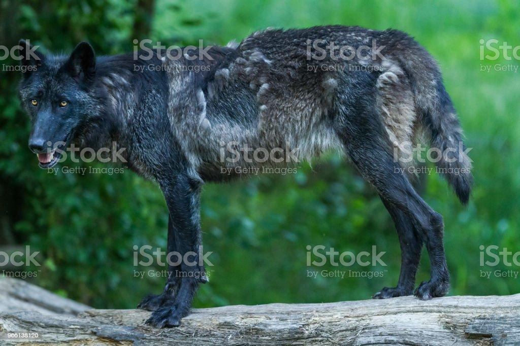 Loup noir - lobo negro - Foto de stock de Aire libre libre de derechos