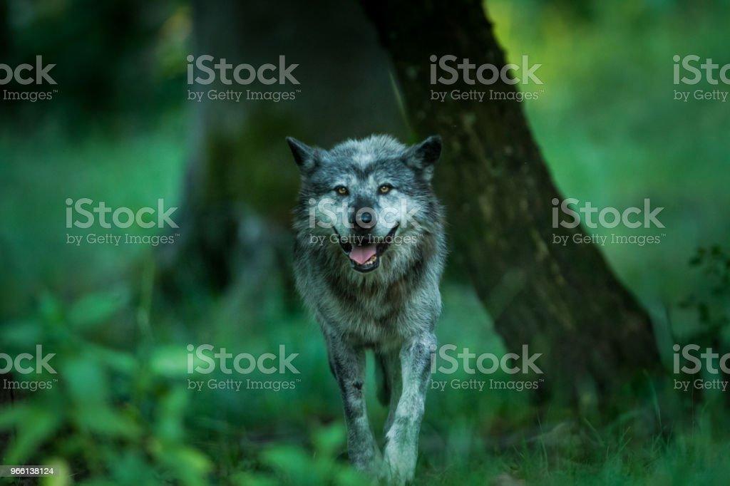 Loup noir - Black wolf - Royalty-free Animal Stock Photo