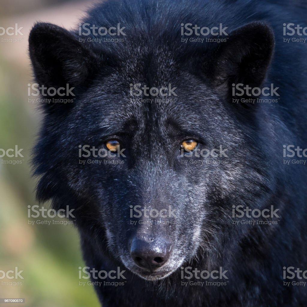 Lobo de Loup noir - preto - foto de acervo