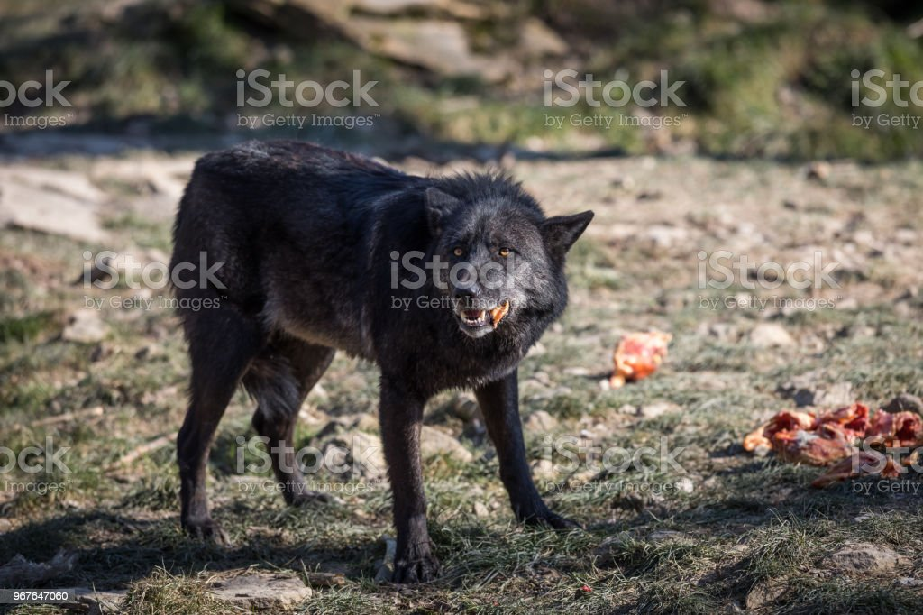 Loup noir - lobo negro - foto de acervo