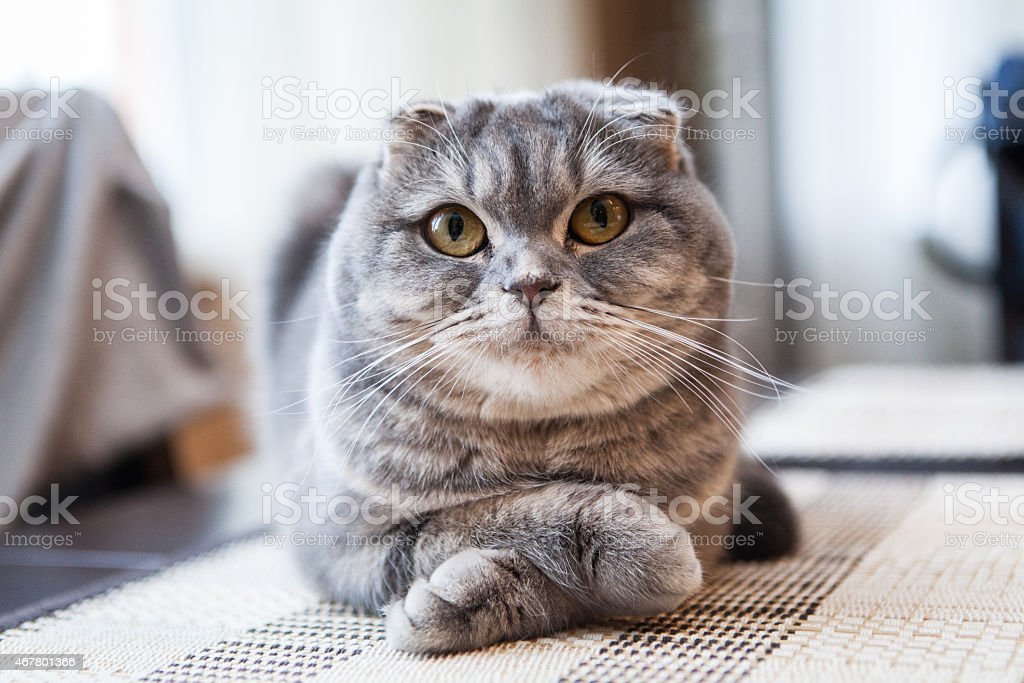 Scottish Fold Pictures, Images and Stock Photos - iStock