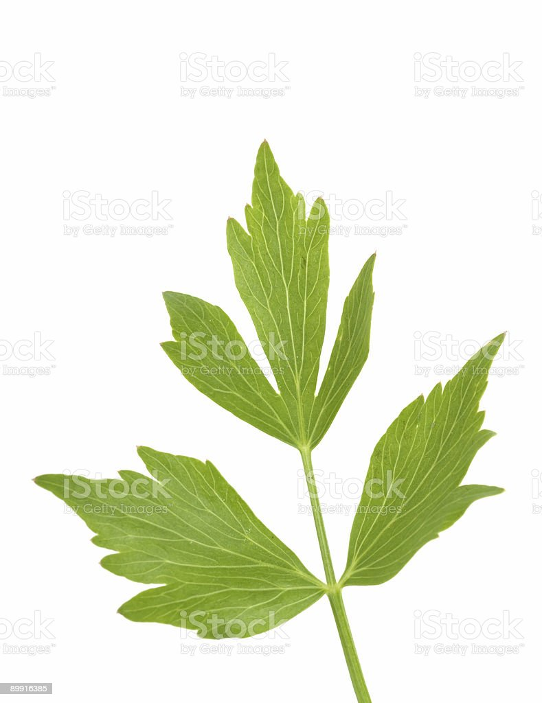 lovage herbs royalty-free stock photo