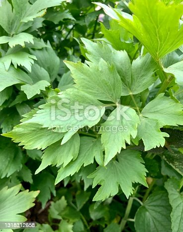 Lovage plant growing in garden