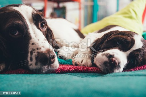 Love And Affection Between English Springer Spaniel Mother And Baby