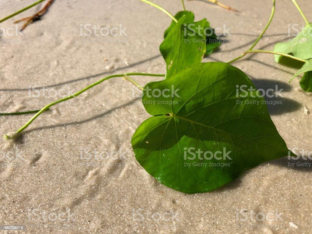 amor e coração em forma de folhas da ferrovia videira (videira pérola) Ipomoea pes-caprae - foto de acervo