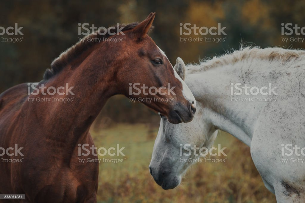 Love and tenderness of horses in the herd stock photo