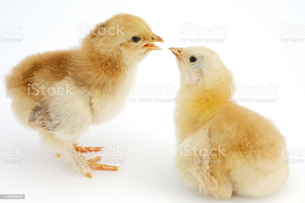 love between chickens royalty-free stock photo