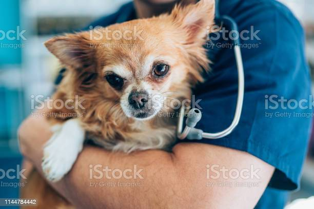 Love between cute chihuahua and veterinarian doctor picture id1144784442?b=1&k=6&m=1144784442&s=612x612&h=nccrolhxuiq0w2mm2apukr5ywy7cjekyo5ddeauisvc=
