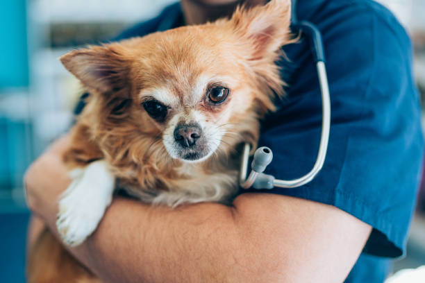 Love between cute chihuahua and veterinarian doctor picture id1144784442?b=1&k=6&m=1144784442&s=612x612&w=0&h=7db0qvlpantokmjnkoqejcakz3bnvoqwbihtpu8pqvq=