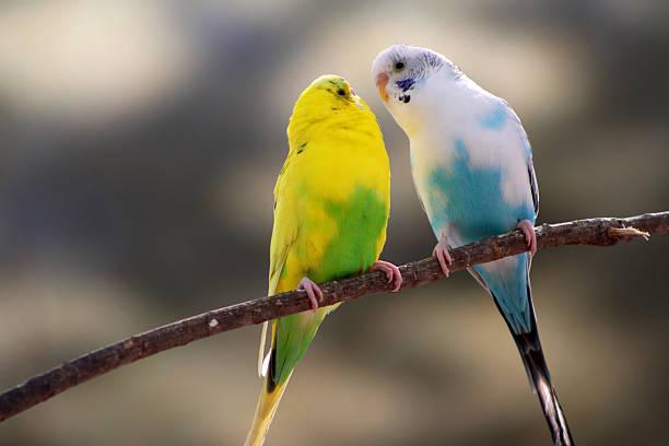 amour oiseaux canaries - canari photos et images de collection