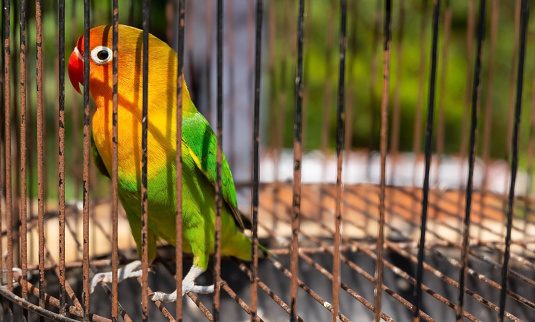 Potrait of a bird in a cage with colorful feathers