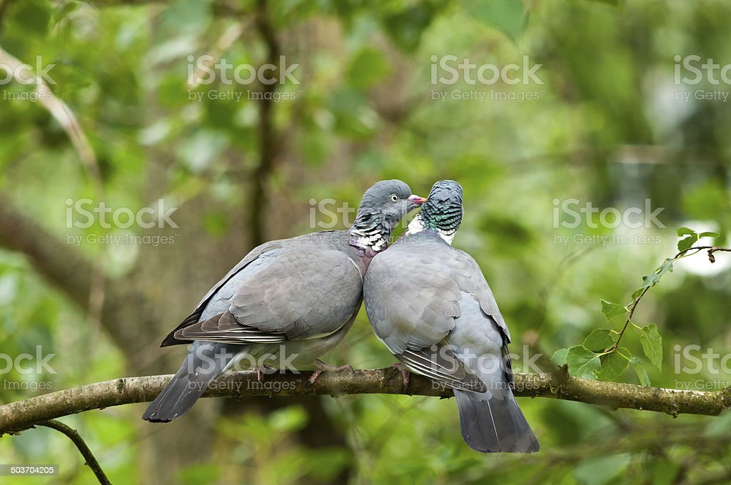 two wood pigeons kissing on a branch.
