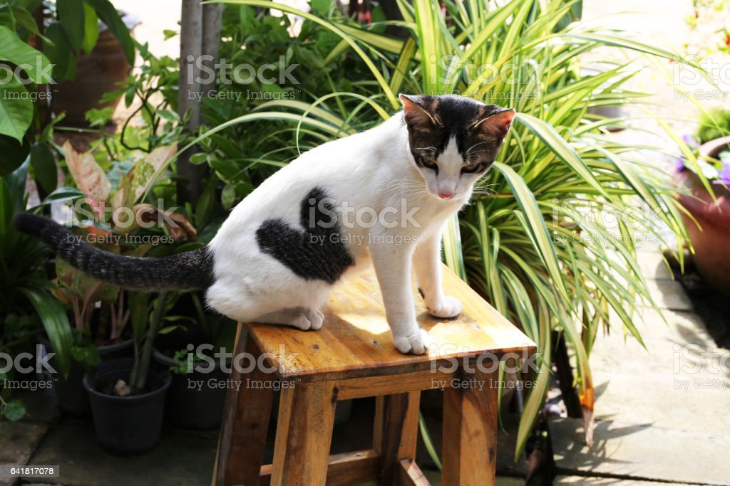 Love cat,or white cat with black heart shape on it body. stock photo