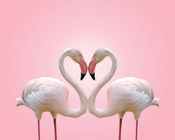 love concept shape heart of couple flamingo on pink background - love stock photos and pictures