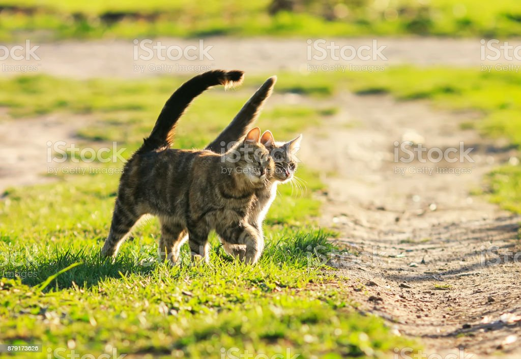love couple cats walking on the bright green meadow in Sunny spring...