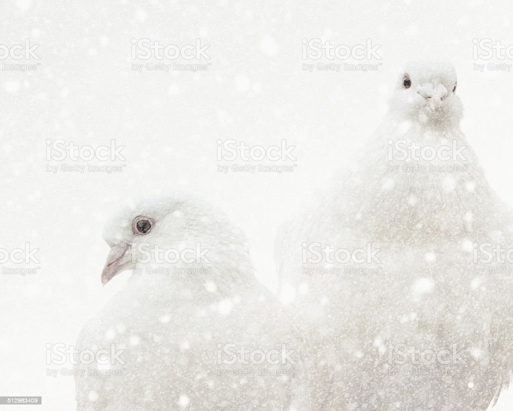 Love Doves & Winter Snow stock photo