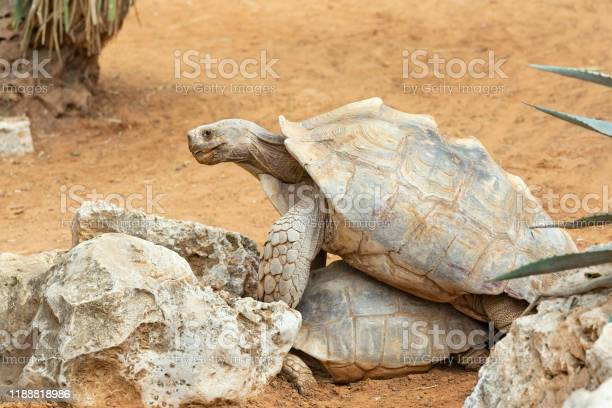 Love games of turtles picture id1188818986?b=1&k=6&m=1188818986&s=612x612&h=z5ddgnh492k7owvl95fzeqzvmrchy6nz1mwx5wazb8g=