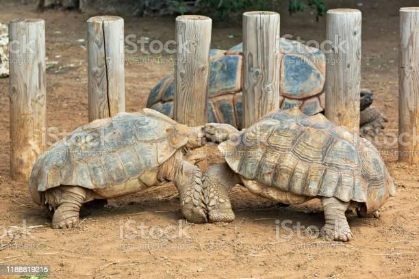 Love games of turtles picture id1188819215?b=1&k=6&m=1188819215&s=612x612&h=obi56xbzknbvotszzor5wjhptqzdemvtnelcrb0sle8=