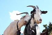 Love Goats.
