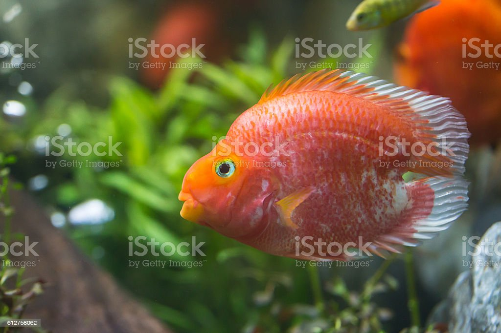 Love heart blood parrot cichild stock photo
