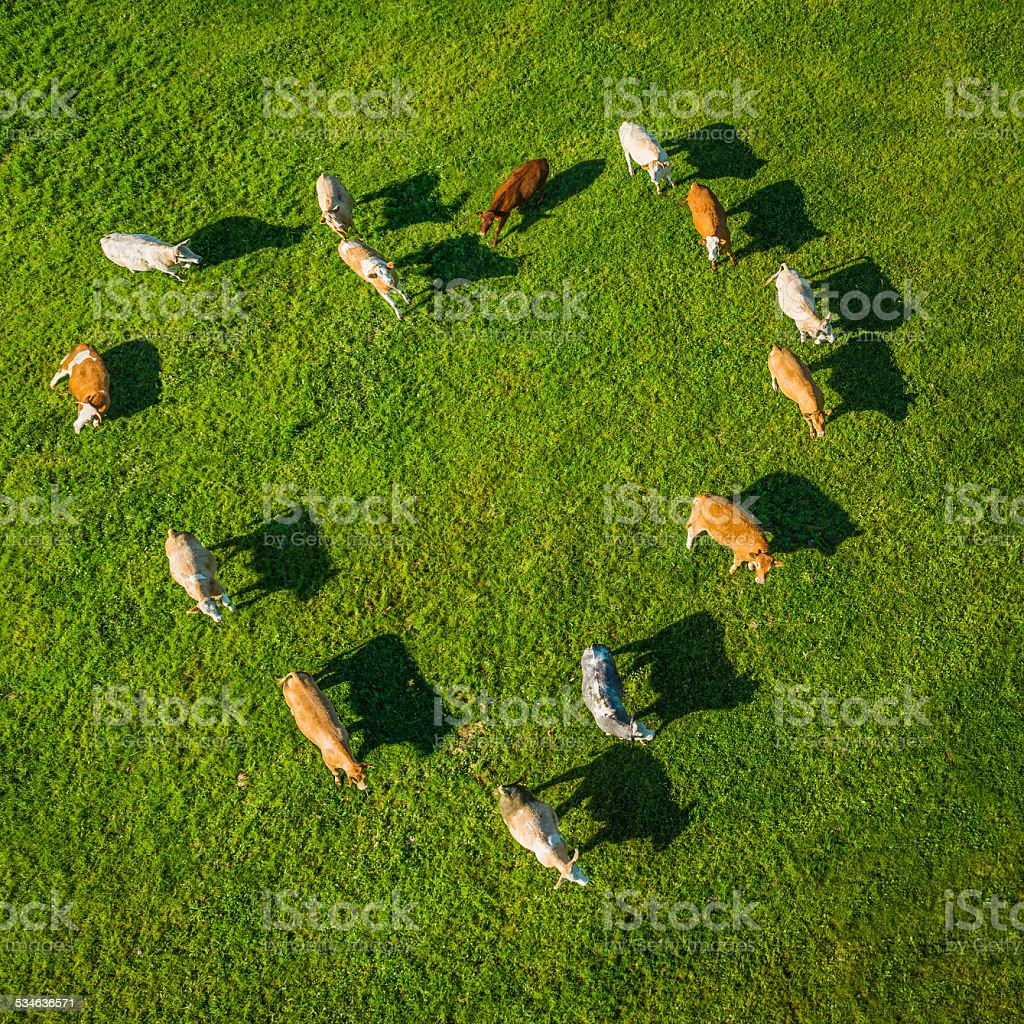 Love heart shaped herd of cows grazing in green pasture stock photo