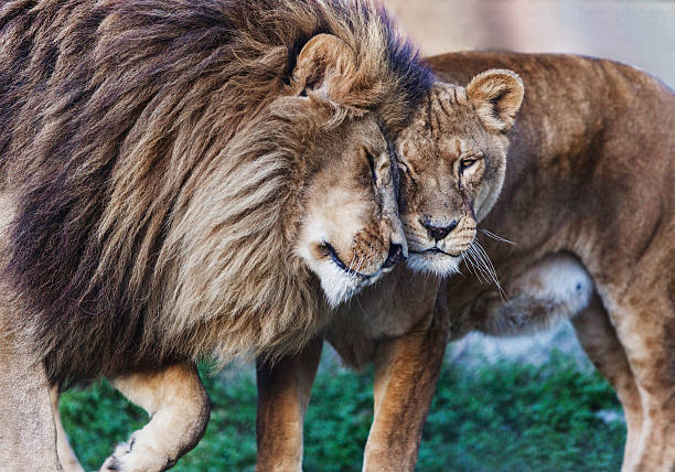 love in wild. - lioness stock photos and pictures