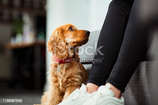 A close up of a cocker spaniel puppy sitting on the floor indoors, looking up to his owner.
