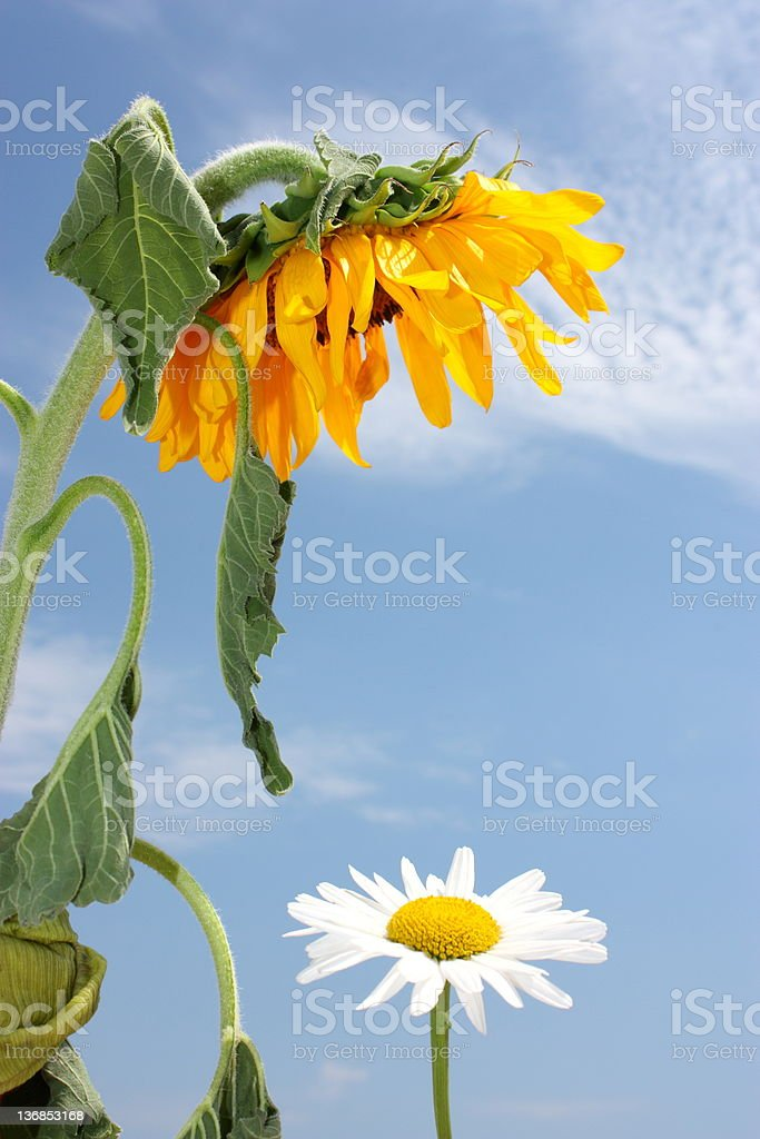Love of sunflower royalty-free stock photo
