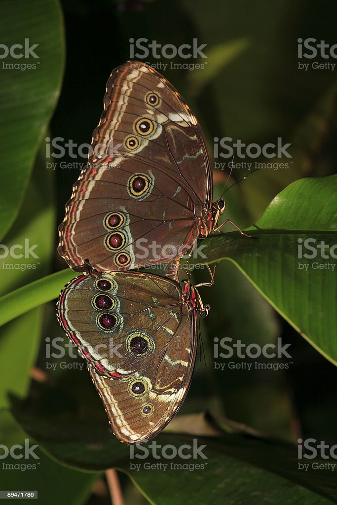 Love on the Leaf (Butterfly) royalty-free stock photo