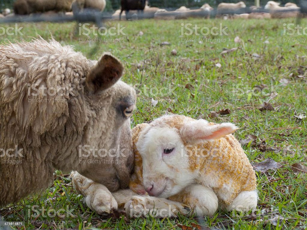 Love Sheep royalty-free stock photo